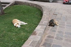 Dogs in Cusco