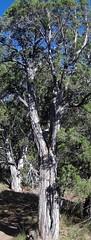 EIGHT (JWSherman) Tags: trees colorado blackcanyon deadtrees