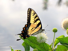 Eastern Tiger Swallowtail. (~~BC's~~Photographs~~) Tags: gamewinner winnerinachallengeforyou pregamewinner adjectives101~yellow~