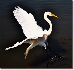 Liberdade! Liberdade! Abre as asas sobre nós... **** EXPLORE **** (Marina Linhares) Tags: bird ave garça superaplus flickraward naturewatcher ringexcellence dblringexcellence tplringexcellence