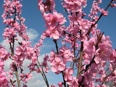 March blossom (SueStevens) Tags: flower tring