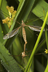 "Mating Crane Flies (Tipula paludosa) • <a style=""font-size:0.8em;"" href=""http://www.flickr.com/photos/57024565@N00/565549994/"" target=""_blank"">View on Flickr</a>"