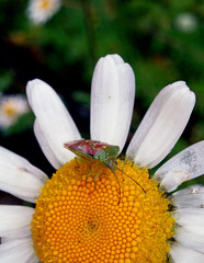 Sitting on the sun (Sitte p sola) (sta) Tags: white flower macro yellow bug insect daisy stinkbug makro blomst insekt gul bille oxeyedaisy hvit hawthornshieldbug acanthosomahaemorrhoidale prestekrage tege stinkbille rogntege