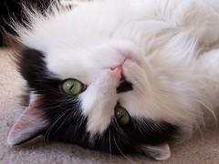 Ruthanne 1 (michanne5) Tags: cats kissablekat bestofcats boc0807