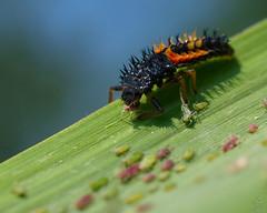 Ladybug larva / Larve de Coccinelle