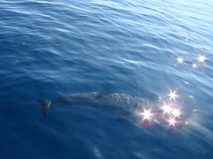 DSC02782 (julesnene) Tags: dolphin philippines dolphins visayas philippine marinemammals cetacean negrosoriental dolphinwatching baisbay julesnene juliasumangil juliahsumangil