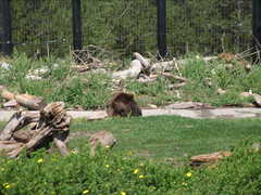 DSCN7890.JPG (TallTrent) Tags: bear west garbage wolf montana bears 7 august center testing container yellowstone grizzly discovery wolves 2007 grizzlies resistant westyellowstonemontana grizzlyandwolfdiscoverycenter grizzlywolfdiscoverycenter