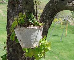 Parra - Periana (Málaga) (-Kaesar-) Tags: españa tree planta spain andalucia parra malaga olivo maceta periana rbol kaesar ka3sar