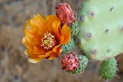 Flor de cactus (juli_modul) Tags: barcelona cactus plant flower flor bcn dscr1 sonydscr1 ltytr2 ltytr1