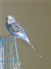 treasure_happy (PhotoPieces) Tags: birds budgie parakeet ilovebirds