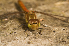 "Common Darter Dragonfly (Sympetrum s(50) • <a style=""font-size:0.8em;"" href=""http://www.flickr.com/photos/57024565@N00/1303403975/"" target=""_blank"">View on Flickr</a>"