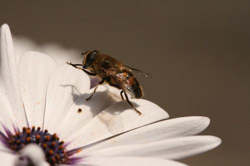 Hover Fly on Daisy 2