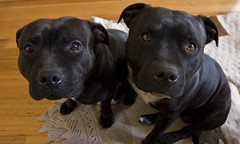 Kids (Ev Lloyd) Tags: dog cute zoe ollie terrier staffordshire staffy supershot impressedbeauty ysplix