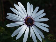 La belleza de lo simple (_Zahira_) Tags: flower macro lafotodelasemana flor olympus nd margarita nr ngr e500 uro 100vistas interestingness294 i500 35mmmacro p1f1