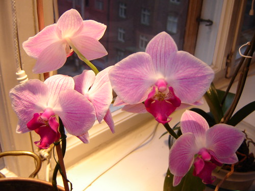 Orchids, January 17, 2006 by Anna Amnell