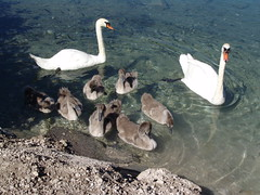 Daddy, Mom & Sons (amipreside) Tags: lago swan natura acqua cigno