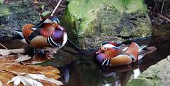 Mandarin Ducks (Robs.au) Tags: animal zoo duck mandarinduck adelaidezoo