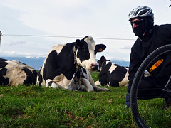 Moooo! (will_cyclist) Tags: france cycling cow cows saleve cowsx