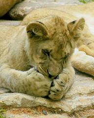 Speak  no evil... (ucumari photography) Tags: animal june cat nikon d70s lion northcarolina bigcat nczoo 2007 blueribbonwinner northcarolinazoo mammmal ucumari ucumariphotography impressedbeauty