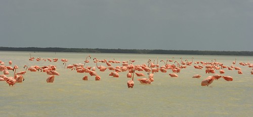 lots Flamingos