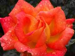 Rainy-day rose (Steve-h) Tags: pink ireland dublin orange water rain yellow drops 5 crying raindrops