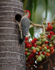 woody (herons) Tags: fab tree bird birds wings woodpecker florida palm redbelliedwoodpecker southbeach feathered royalpalm naturesfinest firsttheearth