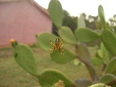 Ragno in agguato (fiammetta53) Tags: spider ficodindia naturesfinest blueribbonwinner ragni specnature abigfave teladiragno fiammetta53 buzznbugz