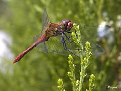 Dragonfly (iK@psel) Tags: macro nature nikon dragonfly coolpix 5700 10faves wowiekazowie