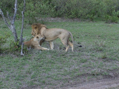 Mara Lions Courting
