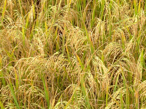 unharvested rice