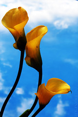 Heaven Sent (donpar) Tags: flowers blue sky yellow clouds lily callalily peopleschoice naturesfinest holidaysvancanzeurlaub