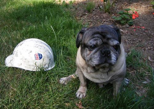 """Pug With """"Zero Accident"""" Construction Helmet"""