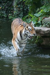 In action! (Pieter D) Tags: water animal zoo belgium action tiger antwerp thebigone pieterd