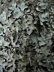 Lichen - by the noggin_nogged