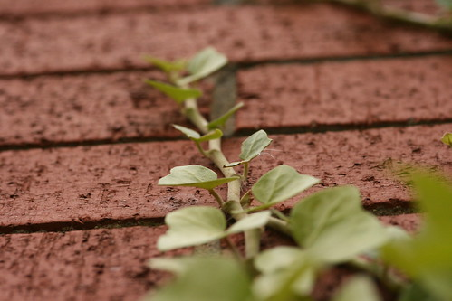 A Branch of Ivy Climbing a Red Brick Wall