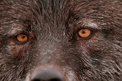 Intensity of the eyes! (bud_marschner) Tags: people nature by alaska italian wolf searchthebest national denali soe geographic watcher naturescenes ngi specanimal animalkingdomelite abigfave anawesomeshot impressedbeauty diamondclassphotographer flickrdiamond