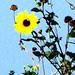 Wild Sunflower at Galveston's East Beach