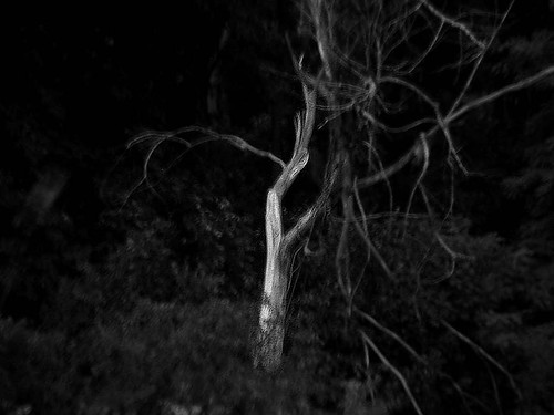 Walking Past the Ghost Tree in Madison's Owen Park at Twilight