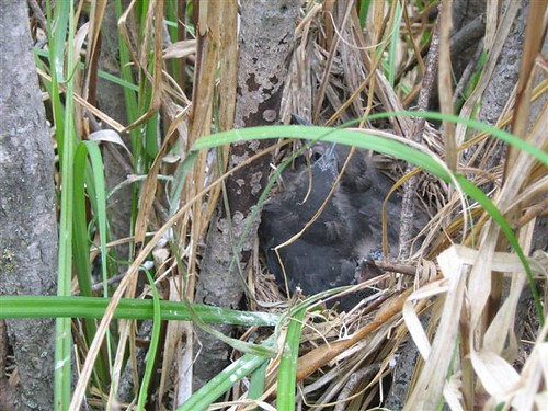 common grackle egg. Common Grackle nest