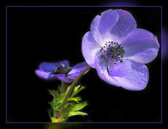 Blue Anemone (scorpion (13)) Tags: blue summer sun black flower colour garden season blossom anemone frame magical legacy soe cherryontop