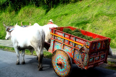 Two Bulls Pulling Wagon in Costa Rica (The One and Only Jet Guer) Tags: costa man grass wagon costarica san jose sanjose rica bull
