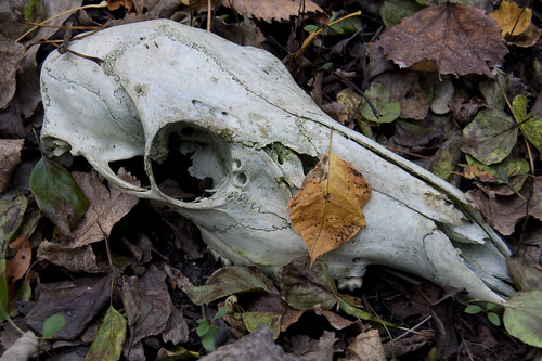 Second Deer Skull