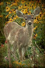 Fawn and Flowers (Peggy Collins) Tags: flowers canada vertical garden interestingness flora britishcolumbia innocent deer explore fawn innocence stare pacificnorthwest wildflowers staring blackeyedsusans penderharbour sunshinecoast textured blacktaileddeer specanimal peggycollins