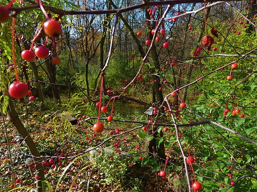 October 29 - Crab Apples