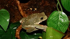 Pachymedusa dacnicolor (eloyhouse) Tags: animal animals amphibian frog frogs amphibians rana treefrogs ranas herpetología anfibios herpetologia herpetolgy pachymedusadacnicolor hepr mexicanleaffrog pachymedusadacnicoloramphibian