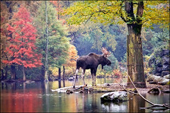 moose (heavenuphere) Tags: netherlands zoo europe nederland moose deer eland drenthe emmen dierentuin dierenpark alcesalces dierenparkemmen 55250mm europeanelk