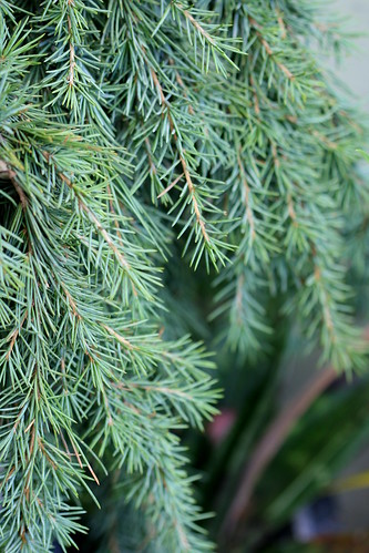 Cedrus 'Feeling Blue'