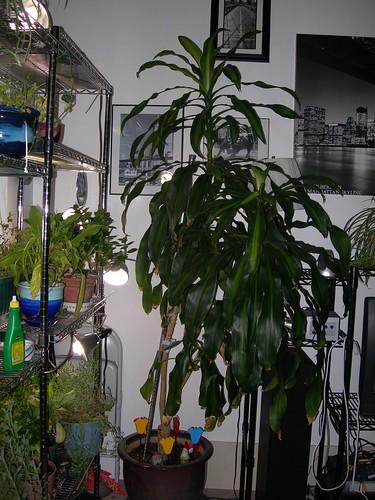 Dracaena Tree