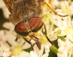 """Horsefly(1) • <a style=""""font-size:0.8em;"""" href=""""http://www.flickr.com/photos/57024565@N00/717858822/"""" target=""""_blank"""">View on Flickr</a>"""