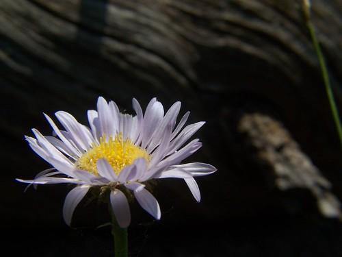 20070708 Wildflower